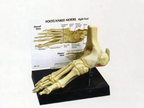 bones of foot. Product Name: Foot Bone Model
