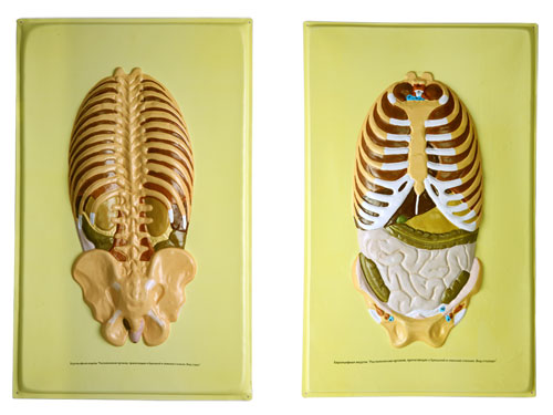 http://www.eduys.com/photo/7066649b3bb41e072588755ad5a4ce1e/Human-Ribcage-Bas-Relief-Model.jpg