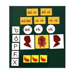 Rh Factor Heredity