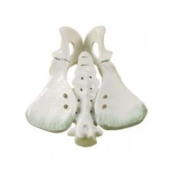 Animal Pelvic Bones Model