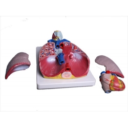 Model of the Lungs and Throat