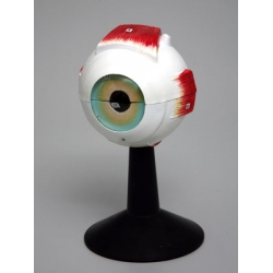Human Eye Structure Model
