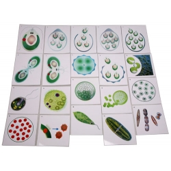 The Reproduction of Single-Cell Algae Magnetic Demonstration Cards