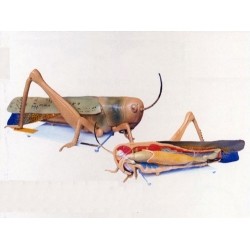Locust Dissection Model