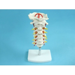 Model of the Upper Spine to the Occipital Bone