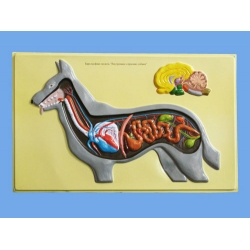 Dog's Internal Structure Bas Relief Model