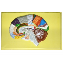 Human Brain Lobes, Bas Relief Model (C)