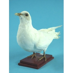 Pigeon Specimen