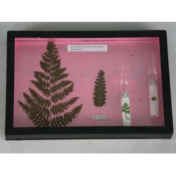 The life cycle of a fern herbarium manufacturers the life cycle of a fern herbarium exporters - Model herbarium ...