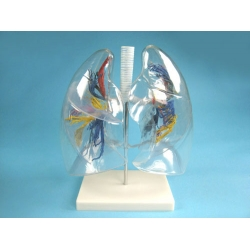 Transparent Model of the Lungs