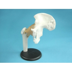 Hip Joint Model