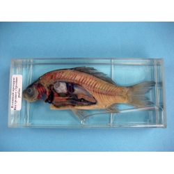 Internal Structure of a Fish