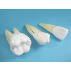 Teeth Model Set