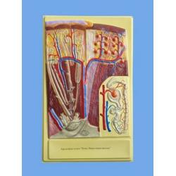 Human Kidney Bas Relief Model