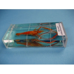 Shrimp Specimen
