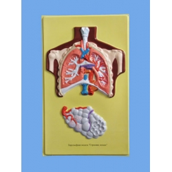 Human Lung Bas Relief Model