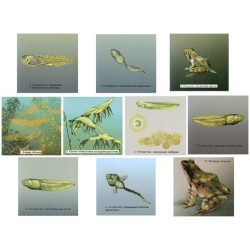 Frog Development Magnetic Demonstration Cards