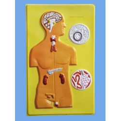 Endocrine Glands, Bas Relief Model