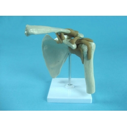 Shoulder Joint Model with Muscles and Tendons