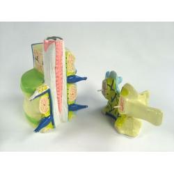 Human Vertebra Model