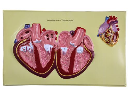 Human Heart Bas Relief Model