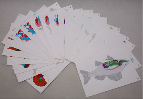 Flash Cards of the Stages of Vertebrate Development