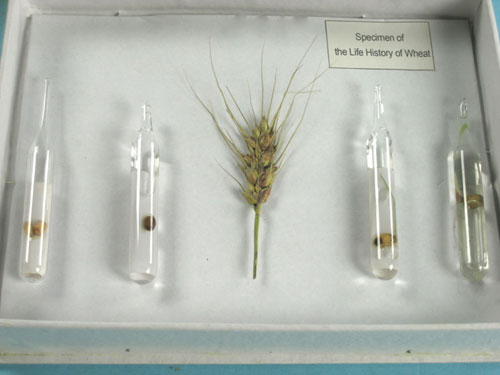 The Life Cycle of Wheat Herbarium