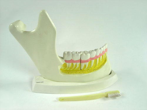 Teeth and Jawbone Structure Model