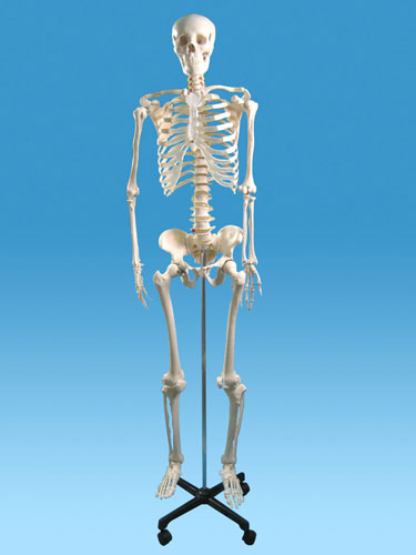 human skeleton model manufacturers, human skeleton model exporters, Skeleton