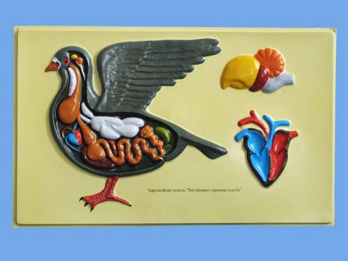 Pigeon's Internal Structure