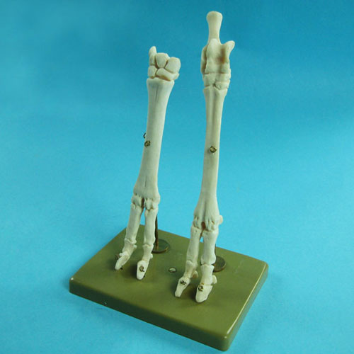 Sheep's Front & Hind Legs Model