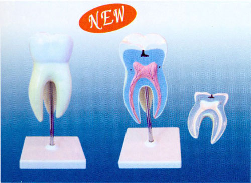 Magnified Incisor Tooth Model