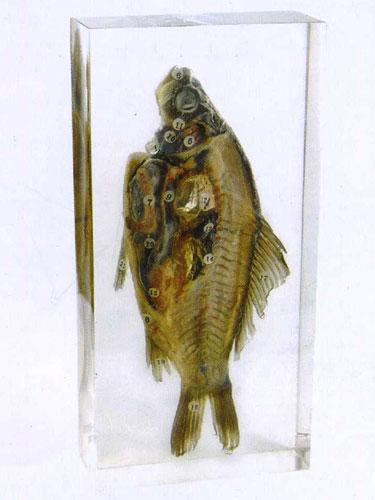 "Resin Educational Specimen""Fish"""