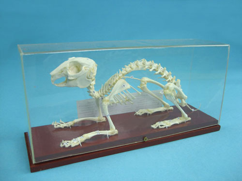 Rabbit Skeleton Specimen