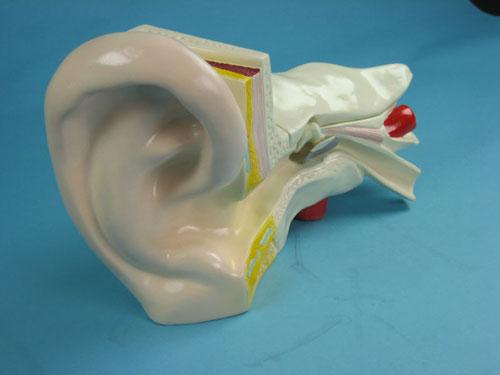 Human Ear Structure Model