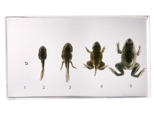 """Resin Educational Specimen""""Frog Development"""""""