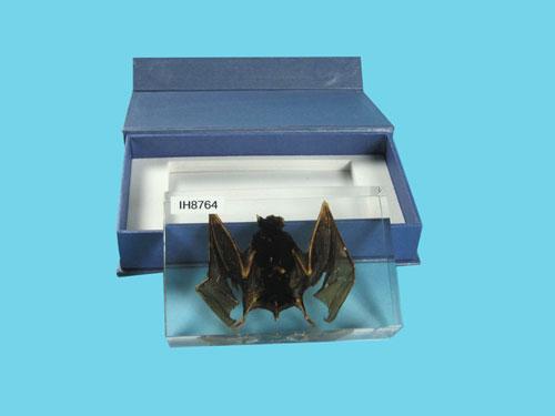 """Resin Educational Specimen""""Bat Specimen"""""""