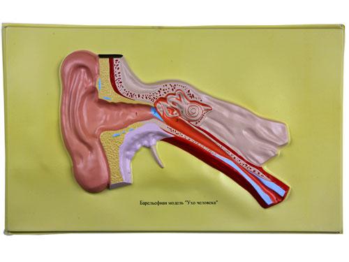 Ear, Bas Relief Model