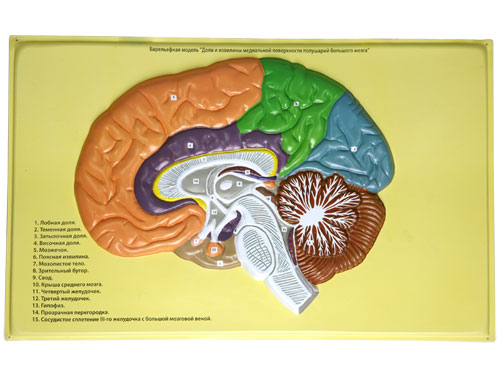 Human Brain Lobes, Bas Relief Model (B)