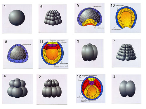Chordate Reproduction & Development, Magnetic Demonstration Models
