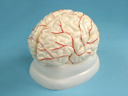 Human Brain Model with Arteries