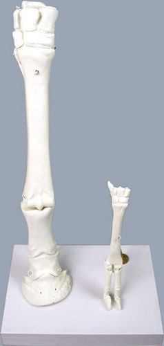 Horse and Sheep Leg Bone Models