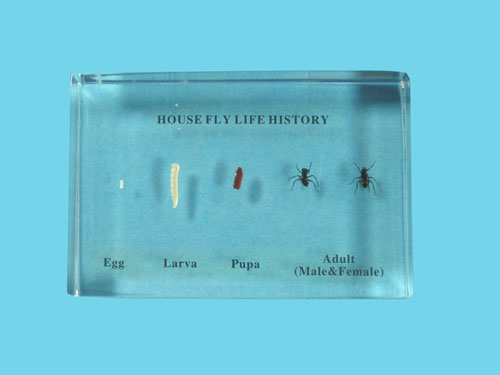 "Resin Educational Specimen""The Life Cycle of a Fly Collection"""