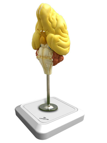 Dog Brain Model
