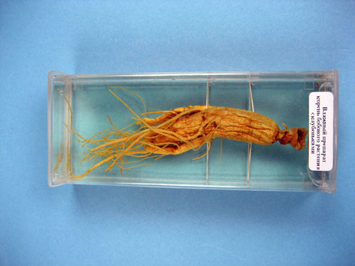 Soybean Nodulation,  Immersed Specimen