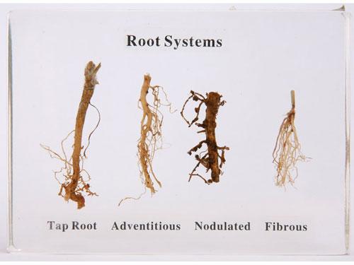 Plant Roots Herbarium - 4 Types