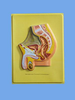 Human Male Pelvis Bas Relief Model