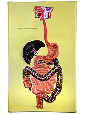 Digestive Tract, Bas Relief Model