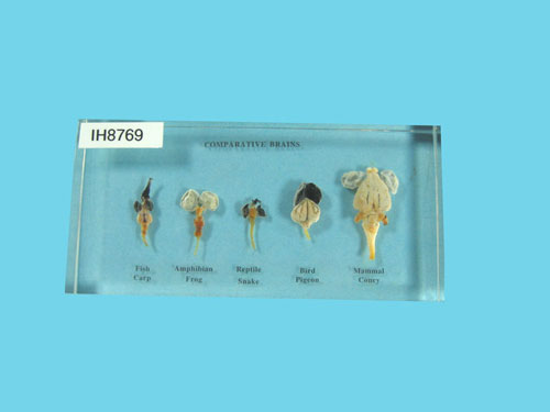 "Resin Educational Specimen""Brains of 5 Vertebrates Set"""