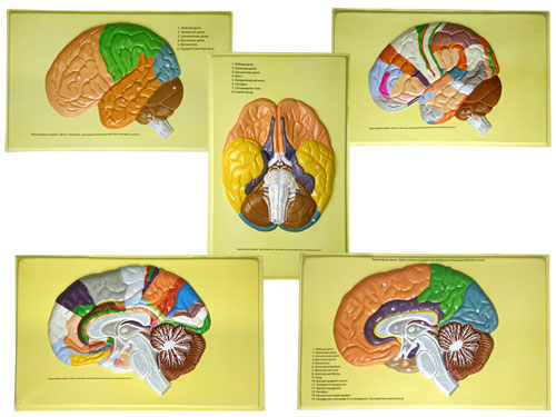 The Human Brain (lobes, Convolutions, Cytoarchitectonic Fields)
